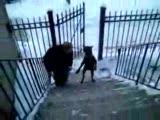 bir köpek merdivenleri 2 ayağı ile çıkabilir mi