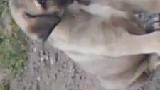 Sivas Kangal Yavrusu
