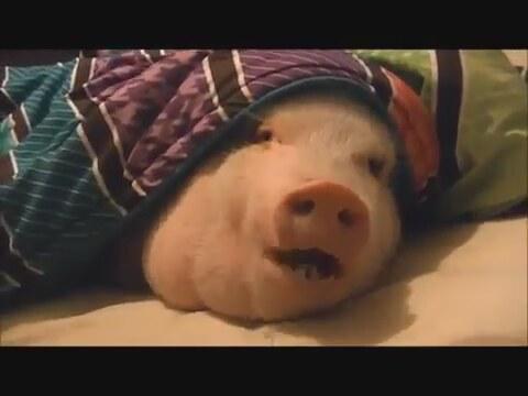 Видео свинка достает печенье с холодильника
