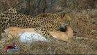 Ölü Taklidi Yapan Antilop