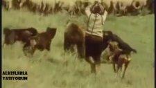 Sürüye Saldıran Ayı Ve Kahraman Karpat Çoban Köpekleri