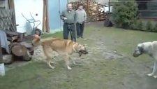 Sivas Kangal Köpeklerinin Dövüşü