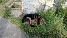 Kurt Köpeği Bahçede Yatıyor