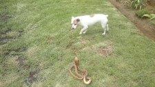Köpek İle Kobra Yılanının Ölümcül Kavgası
