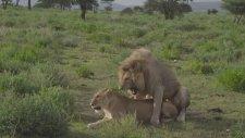 Röportaj Sırasında Aslanlar Çiftleşirse