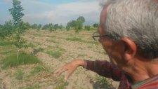 Ceviz Ağacı   Dikili Ayaskent   Ali Osman Arkan