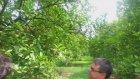 Kuruyan Portakal Ağaçları