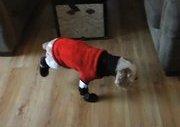 Köpeğe Bebek Ayakkabısı Giydirilirse