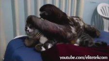 Kedilere Fısıldayan Tembel Hayvan
