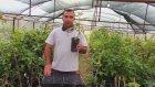Hollanda Boduru Ahududu Meyvesi Özellikleri Ve Fidanı Satışı