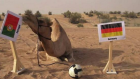 Almanya - Portekiz Maçını Deveye Sordular!