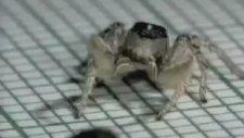 Latin Dansı Yapan Örümcek