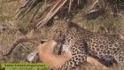 İmpalayı Leopardan Kurtaran Kaharaman Babun