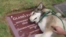 Sahibinin Mezarında Hıçkıra Hıçkıra Ağlayan Köpek