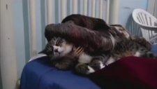 Kedilere Ayıp Şeyler Fısıldayan Tembel Hayvan