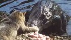 Timsahı Tokatlayan Kedi