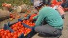 Yumurtalık'ta Domates Üretimi - Adana