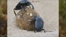 Gerçek Güçlere Sahip Dünyanın En Güçlü 10 Böceği