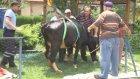 Havuza düşen inek kurtarıldı - BOLU