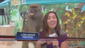 Tacizci Maymun