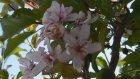 """""""Mevsimini şaşıran"""" elma ağacı çiçek açtı - KARAMAN"""