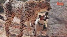 Çita İle Köpeğin Dostluğu