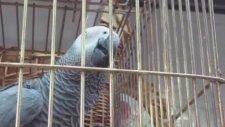 Konuşan Papağan Jako