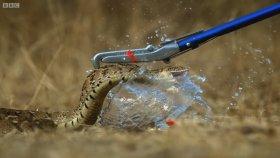 Yılanın Su Dolu Balona Saldırması - Ağır Çekim