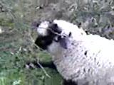 allah diyen kuzu