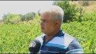 Bağdan sofraya Şarköy üzümü - TEKİRDAĞ