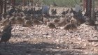 Yetiştirilen keklikler doğaya salınacak - ÇANKIRI