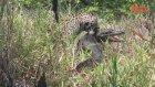 Jaguarın Timsah Avı