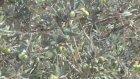 Zeytin sineği zararlısına karşı 3,3 milyon liralık önlem - BALIKESİR