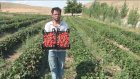 Deneme amaçlı ekilen çilekte hasat zamanı - K.MARAŞ