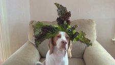 Kafasında 100 Saniye İçinde 100 Meyve Sebze Taşıyan Köpek