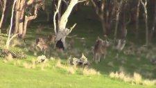 Kick-Boks Turnuvası Düzenleyen Kangurular