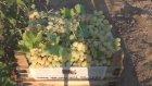 Gaziantep'te üzüm hasadına başlandı