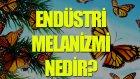 Endüstri Melanizmi Nedir? - Tek Cümlede Evrim