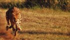 Çita Ve Dünyanın En Hızlı Köpeği