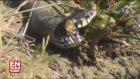 Sinop'ta Su Yılanı Saniyeler İçinde Kurbağayı Yedi