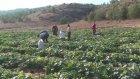Turşuluk salatalıklar bölge halkının geçim kaynağı oldu - KAHRAMANMARAŞ