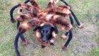 Köpeğe Örümcek Kostümü Giydirerek İnsanları Korkutmak
