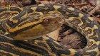 Ölumcul Yılanlar - Halil İbrahim Gebiç Belgesel