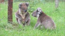 Sevimli Koalaların Komik Kavgası