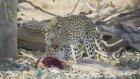 İmpalayı Ağaçtan Atlayıp Yakalayan Leopar