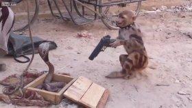 Kobraya Silah Doğrultan Maymun