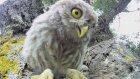 Meraklı Yavru Baykuş Kamerayı İnceliyor