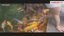 Biberonla Japon Balığı Beslemek