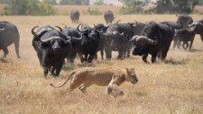 Bizonlar Tarafından Paramparça Edilen Aslan