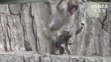 Dikkatsiz Anne Maymun Yavrusunu Tekmeledi